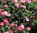 Cum se planteaza si se ingrijesc trandafirii de gradina.
