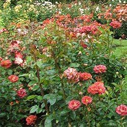 trandafiri de gradina
