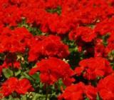 Cateva idei utile despre ce flori puteti planta pentru a avea o gradina frumos inflorita intreaga vara.
